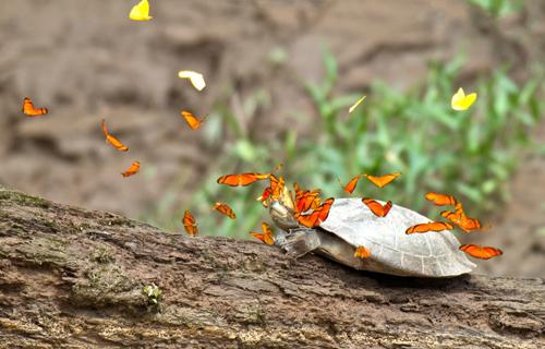 Đàn bướm bay lượn và dạo quanh đầu rùa để uống những giọt nước mắt rùa, một trong các nguồn cung cấp natri tự nhiên. Hiện tượng đặc biệt này được ghi lại nhiếp ảnh gia Jeff Cremer, giám đốc tiếp thị của một công ty tổ chức thám hiểm rừng Amazon ở Peru. Ảnh: Perunature