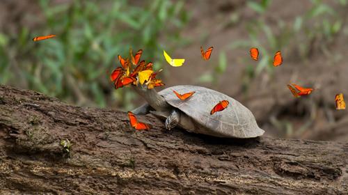 Đàn bướm quá nhiệt tình đến nỗi che khuất mất tầm nhìn của rùa. Trông rùa có vẻ rất lúng túng khi xác định phương hướng. Phía tây Amazon có rất ít khoáng chất natri, bởi vì nơi này nằm cách xa hơn 1.600 km từ Đại Tây Dương, một nguồn cung cấp muối chủ yếu. Chính vì vậy nước mắt rùa trở nên rất thu hút với loài bướm.