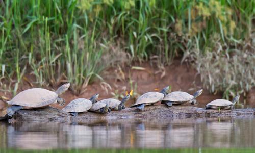 Đàn rùa xếp hàng rất tổ chức đan xen với vài con bướm tô điểm thêm cho bức ảnh thiên nhiên. Cơ thể của rùa có thừa natri nhờ vào chế độ ăn thịt của chúng. Các loài ăn cỏ khác tìm đến rùa để lấy natri thiếu trong cơ thể, điều này tạo ra sự hài hòa cân bằng trong tự nhiên.