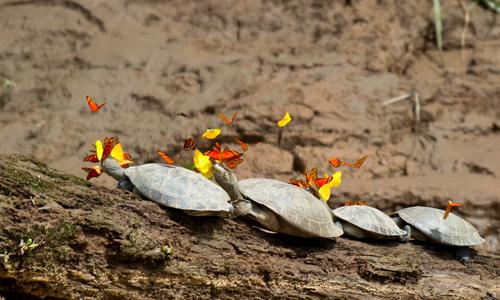 Bướm che lấp tầm nhìn của rùa khi uống nước mắt, điều này làm cho rùa dễ bị tấn công bởi các loài thú ăn thịt khác.