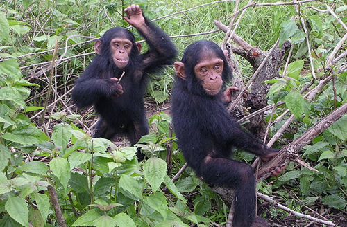 5-chimpanzee-10-animals-with-h-7136-4776
