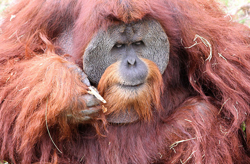 7-orangutan-10-animals-with-hu-2428-4022