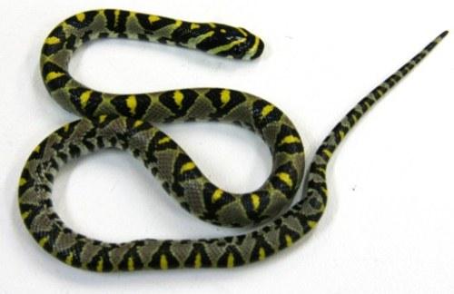 Bộ Nông nghiệp Australia xác định đây là loài rắn chuột Mandarin, khá phổ biến ở châu Á