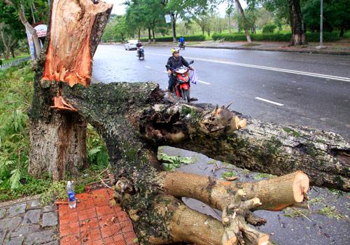 Nhiều cây lớn gãy đổ tại tuyến QL 1A qua TP Huế. Ảnh: Nguyễn Đông