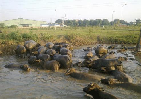 Đàn trâu của Thiện có lúc lên tới 100 con nhưng hiện tại do đất ruộng bị thu hẹp nên cậu vừa giảm đàn xuống còn hơn 60 con.