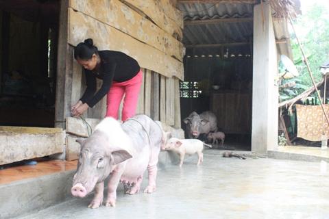 Chị Luận đang chăm sóc ổ lợn nái kịp di tản chưa bị cơn lũ cuốn trôi