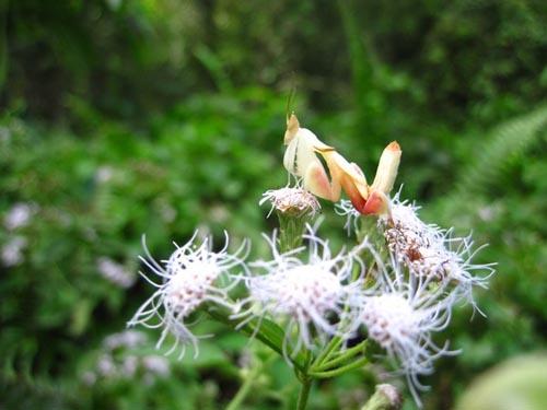 orchid-mantis-1-9001-1385953582.jpg