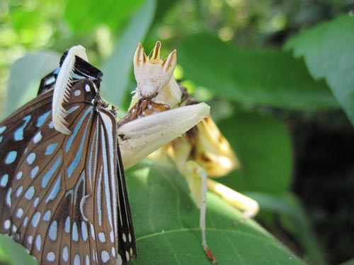 orchid-mantis-10-2254-1385953583.jpg