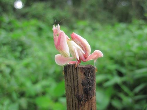 orchid-mantis-2-5098-1385953582.jpg