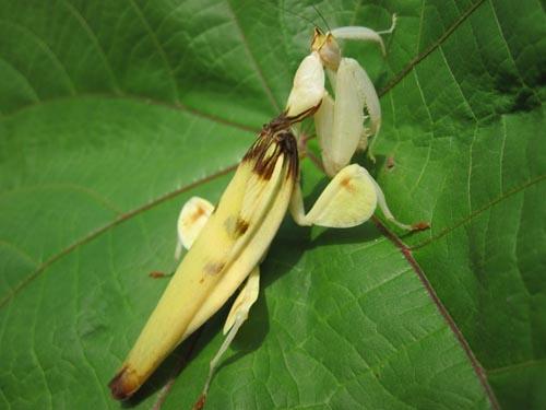 orchid-mantis-7-3115-1385953583.jpg