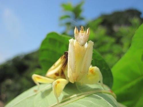 orchid-mantis-8-1473-1385953583.jpg