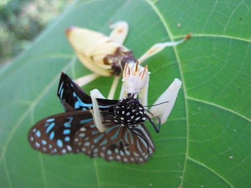 orchid-mantis-9-3932-1385953583.jpg