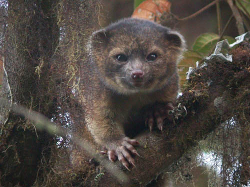 the-olinguito-was-the-first-new-carnivor