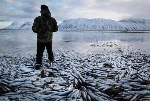 [Caption]Dead herring floated in the Kolgrafafjordur fiord in Iceland's Snaefellsnes peninsula on Feb. 5. The fish died due to lack of oxygen apparently caused by a landfill and bridge built in 2004.Brynjar Gauti/Associated Press