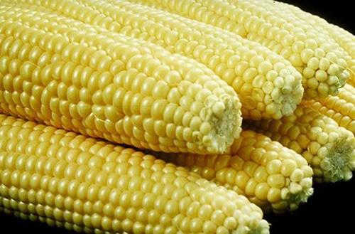 Một giống ngô biến đổi gene. Ảnh: motherearthnews.com.