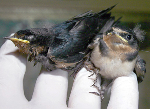 080723-twin-swallows-big.jpg