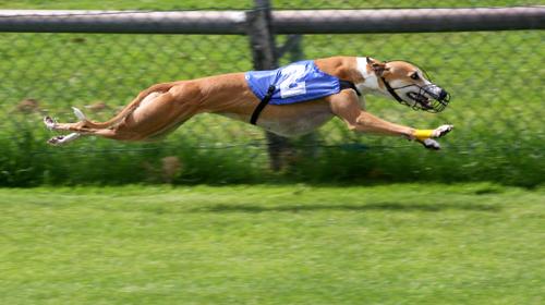 Greyhound-Racing-2-amk.jpg
