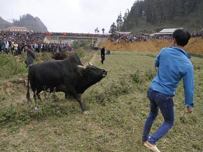 Hàng nghìn người đổ xô xem chọi trâu Tây Bắc saoviethot.com