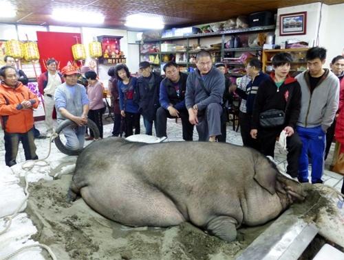 Con lợn nặng 938 kg được đem tế lễ ở Đài Loan