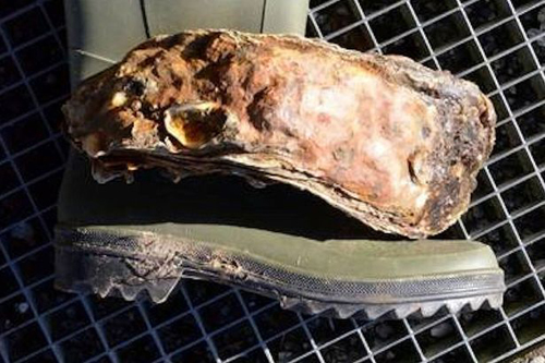 Worlds-largest-oyster-3168783-1968-13932
