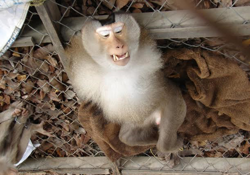Giải cứu 6 con khỉ quý hiếm