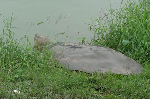 'Cụ' rùa hồ Gươm nằm phơi nắng hơn 1 tiếng RuahoGuom1-8411-1395027075