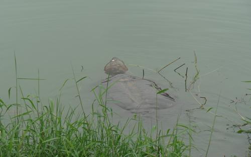 'Cụ' rùa hồ Gươm nằm phơi nắng hơn 1 tiếng RuahoGuom2-3120-1395027075