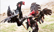 Hơn 50 người bị bắt giữ trong trường gà