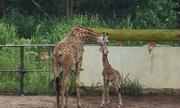 Hươu cao cổ sinh con trong vườn thú