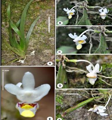 Loài Cordiglottis longipedicellata. Ảnh: VAST.