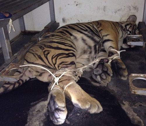 Hai con hổ bị quăng khỏi xe tải