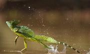 Những động vật biết đi trên nước