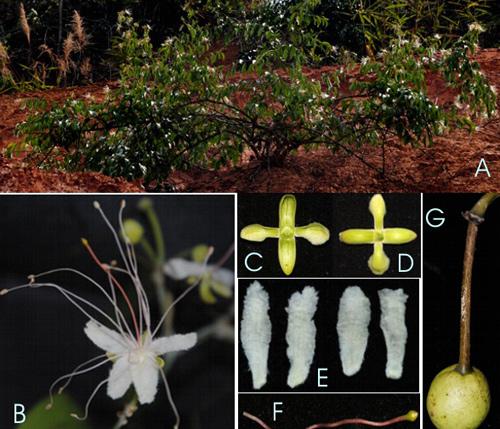 Capparis daknongensis D.T. Sy,: A, dạng sống. B, hoa. C-D, vòng đài, mặt trước sau. E, cặp cánh tràng phía trên, dưới. F, bầu và cuống bầu, G, Quả.