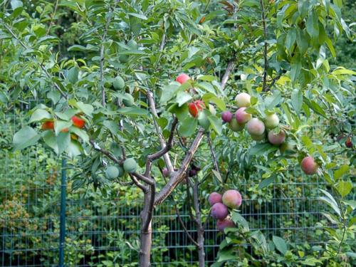 HT-stone-fruit-tree-3-jtm-1407-5032-5715
