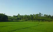 Những cánh đồng bên đường ngoại ô Hà Nội