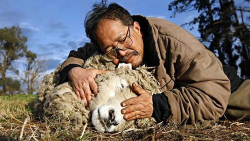 Con cừu nổi tiếng của Việt kiều Australia qua đời