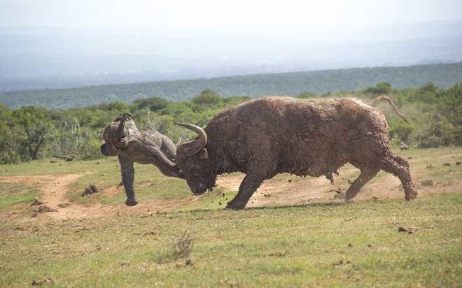 Trận chiến giữa trâu rừng và voi con