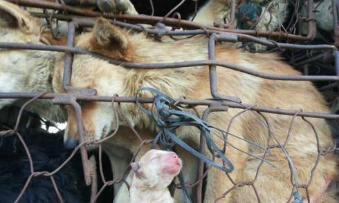 Ảnh chó mẹ sinh con trên đường đến lò mổ gây 'bão' mạng