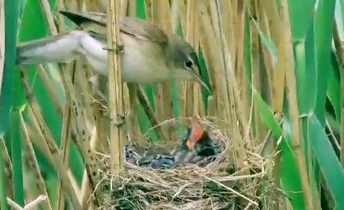 Chim chích mẻ và chim tu hú con Endynamis scolopaceav Ảnh: Phùng Mỹ Trung