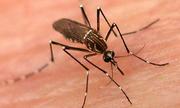 Con muỗi bay cao bao nhiêu mét?