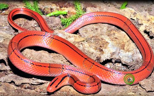 1. Rắn sọc đốm đỏ Oreocryptophis porphyraceus Được xem như một trong những loài rắn có sắc màu rực rỡ nhất ở Việt Nam và cũng là loài sống ở những nơi gần với nóc nhà của chúng ta. Loài này thường kiếm ăn ở bìa rừng dọc theo các con suối thuộc vùng núi cao. Thích hoạt động vào sáng sớm hoặc hoàng hôn. Thức ăn chủ yếu là các loài lưỡng cư và thú gặm nhấm nhỏ. Đẻ khoảng 2 - 7 trứng. Trứng thuôn dài có vỏ dai màu trắng. Chính vì vẻ đẹp rực rỡ của chúng và hoàn toàn vô hại với con người đã khiến chúng bị săn đổi ráo riết để buôn bán và nuôi làm cảnh. Hiện nay loài này đã được đưa vào sách đỏ Việt Nam.