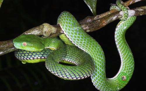 Rắn lục miền nam Viridovipera vogeli Kẻ săn đêm siêu phàm và khôn ngoan nhất trong các loài rắn được mang danh loài rắn lục miền nam Viridovipera vogeli. Giữa bóng đêm mịt mùng của các cánh rừng mưa nhiệt đới loài rắn lục này dùng khả năng cảm nhiệt trong đêm tối để bắt các con mồi. Nó tìm kiếm một gốc cây nhỏ cuộn tròn vào các cành cây nằm gần sát mặt đất và kiên nhẫn chờ đợi con mồi đi ngang qua. Chi với một cú đớp những chiếc răng sắc nhọn của nó sẽ khiến con mồi không có cơ hội thoát thân. Đây là loài rắn độc và rất nguy hiểm không chỉ đối với con người mà ngay cả một con nai rừng ngơ ngác.