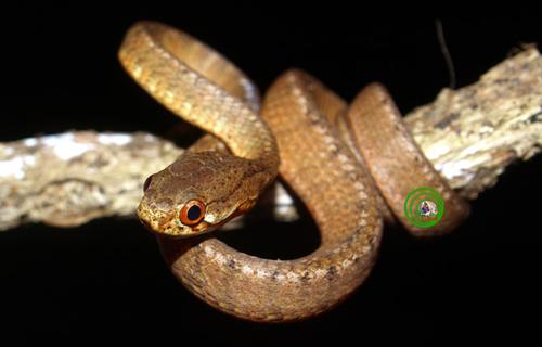 . Rắn hổ mây gờ Pareas carinatus Ở Khu BTTN Vĩnh Cửu  khi nhiệt độ ban đêm giảm xuống, cơ thể con người đã bắt đầu cảm nhận được cái lạnh của màn sương đêm buông xuống, thì cũng là lúc loài này bò ra khỏi hang nơi nó lẩn trốn ban ngày đi kiếm ăn. Những loài ếch cây Rhacophorus và các loài nhái nhỏ sẽ là những miếng mồi ngon lành của nó. Loài này rất ít gặp ban ngày nhưng rất dễ nhận diện loài rắn không độc này trong đêm với lớp vảy màu nâu nhạt, lớp vảy nằm sát phần bụng có màu nâu đậm, viền mắt ngoài màu đỏ rực khi ánh đèn phản chiếu trong đêm tối. Là loài rắn có kích thước nhỏ, nhút nhát, phân bố rộng nhưng số lượng cá thể của loài này không còn nhiều trong tự nhiên.