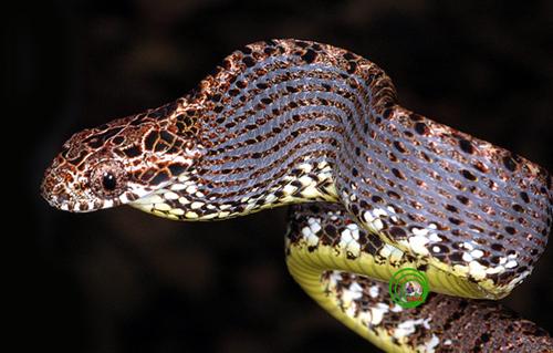 Rắn rào ngọc bích Boiga jaspidea Nữ hoàng sắc đẹp của các loài rắn chắc chắn sẽ nhận được phiếu bầu cho loài rắn rào ngọc bích Boiga jaspidea vì những màu sắc, hoa văn trên cơ thể của nó được tạo hoá trang điểm hết sức hài hoà. Trong bóng đêm sự phản chiếu của các lớp vẩy màu bởi ảnh đèn flash càng làm nó nổi bật. Mặc dù là loài rắn không độc nhưng nó có khả năng bắt trước một số loài rắn độc khi bị đe doạ bằng cách phình to phần đầu ra để hù doạ kẻ thù và phát ra những âm thanh đe doạ để tìm cách lẩn trốn.