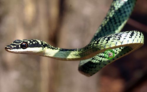 Rắn cườm Chrysopelea ornata Loài rắn nhỏ có chiều dài khoảng 130cm này đầu màu xanh lục có vệt màu đen; cằm và phía trên mép màu ngà voi. Thân màu vàng xanh lục nhạt. Mỗi vảy thân trơn bóng có viền đen; vài vảy đen hoàn toàn, tạo thành vạch ngang. Bụng màu xanh lục với các chấm tròn đen kế mỗi vết khía hình V. Loài rắn nhỏ bé và nhút nhát này thường dung chiêu thức lẩn trốn tẩu vi thượng sách khi gặp kẻ thù đây có lẽ phương pháp hữu hiệu nhất của chúng vì biết mình sức yếu. Là loài hoạt động, kiếm ăn ban ngày, thức ăn chính được biết đến chỉ là các những loài thằn lằn nhỏ lẩn trốn các thảm mục thực vật. Đôi khi chúng mò vào tận các ngôi nhà hoang hay những ngôi nhà nằm sát bìa rừng để bắt những con thạch sùng nhà  Hemidactylus. Thỉnh thoảng chúng ta cũng có cơ hội nhìn thấy nó gồng mình thị uy một cách mạnh mẽ khi gặp kẻ yếu hơn mình.