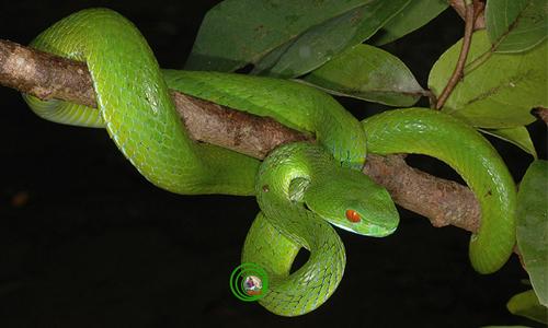 Rắn lục mắt đỏ Trimeresurus stejneger Chậm chạp, lặng lẽ trong bóng đêm mịt mùng các khu rừng thường xanh nhưng chỉ một cú đớp của loài rắn độc này cũng có thể giết chết bất cứ loài động vật nào lớn hơn nó gấp nhiều lần. Nọc độc của nó sẽ tấn công các tế bào trong cơ thể gây phù nề, hoại tử nếu không kịp chữa trị và nếu như bạn không hiểu về tập tình, cách tấn công của nó thì đừng có dại dột mà để ống kính chụp hình cách nó 2 m trừ khi bạn không muốn nhìn thấy mặt trời vào ngày hôm sau.