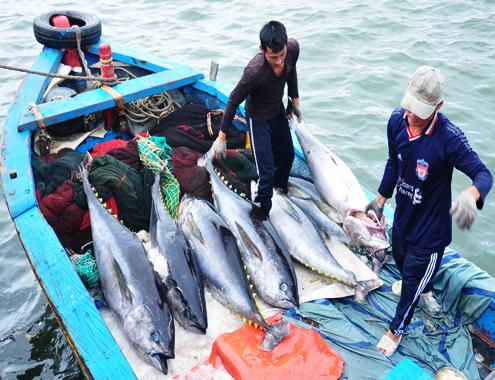Bình Định mở rộng thị trường tiêu thụ cá ngừ đại dương