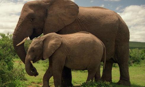 10 loài động vật mang thai lâu nhất