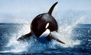 Tim cá voi có mấy ngăn?