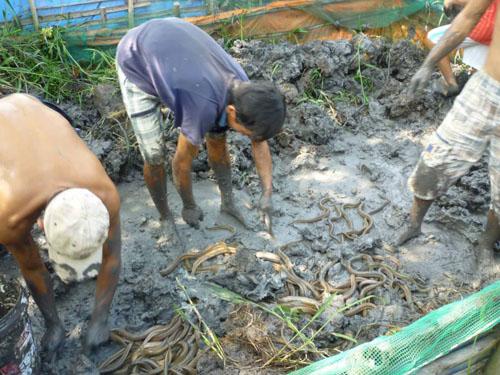 10872111 707501556032297 17819 6606 2456 1420423903 Bắt hàng trăm con lươn ẩn mình dưới bùn đất